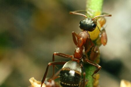 Brown ants, group, take care of aphids. High quality photo
