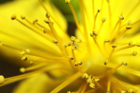 beautiful yellow flower close-up, pestle and stamen seeds. High quality photo Reklamní fotografie