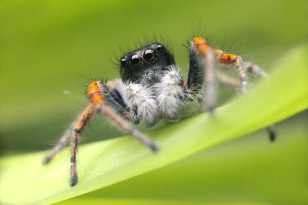 Spider with beautiful eyes close-up. Insect Macro shot.