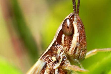 Extreme locust closeup. Grasshopper on a green leaf Zdjęcie Seryjne