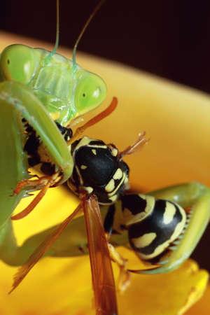 mantis, religious mantis, wasp feeding, green mantis close up