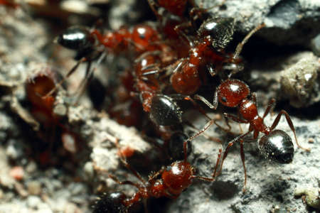 Brown ants, group, take care of aphids Zdjęcie Seryjne