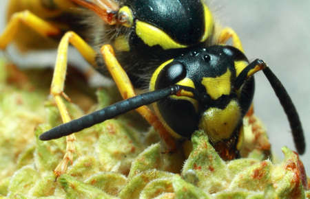 Wasp, yellow-black insect on a plant, close-up Zdjęcie Seryjne