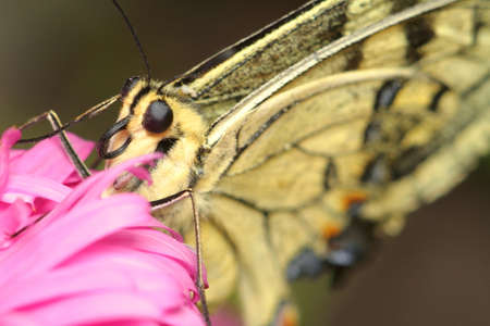 Beige butterfly on a pink flower, close-up, eyes and butterfly proboscis