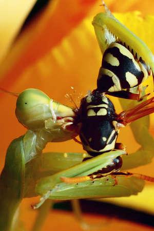 mantis, religious mantis, wasp feeding, green mantis close up Zdjęcie Seryjne - 151119732