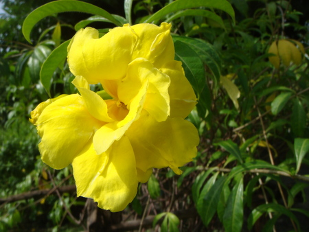 then: Yellow flowers are blooming in the sun during the day and then have to stop, because the beauty and fragrance of this flower is not toxic to the environment very well. Stock Photo