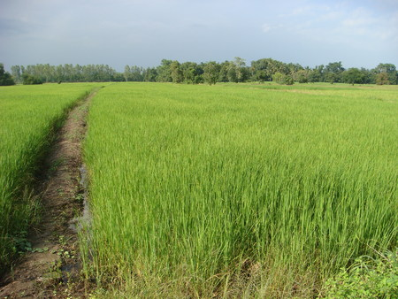 dikes: Fields growing rice with fresh green dikes