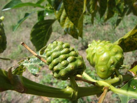 polynesia: Morinda is a plant native to Polynesia