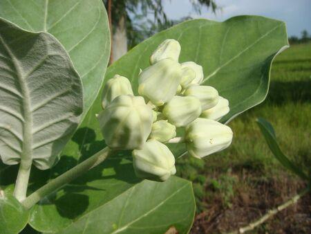 planted: White Dahlia Lane planted Thailand Buddha