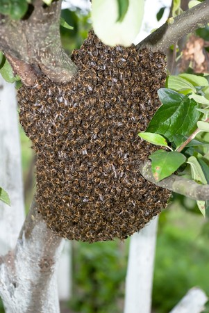 Honey Bee Swarm photo