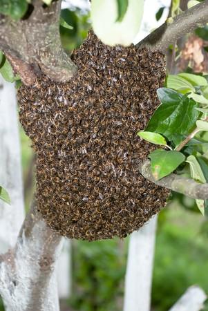 bee swarm: Honey Bee Swarm Stock Photo