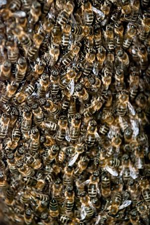avispa: Swarm de abeja de miel Close Up