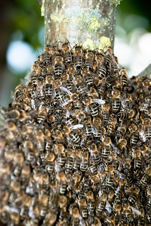 bee swarm: Honey Bee Swarm Close Up