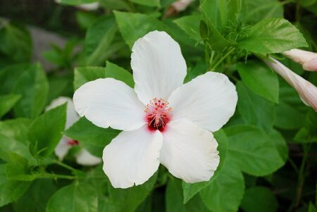 White hibiscus flower closeup photo