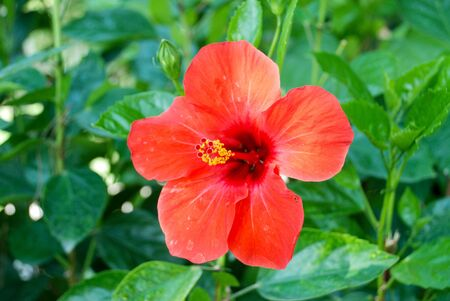 Red hibiscus flower closeup Stock Photo - 7776250