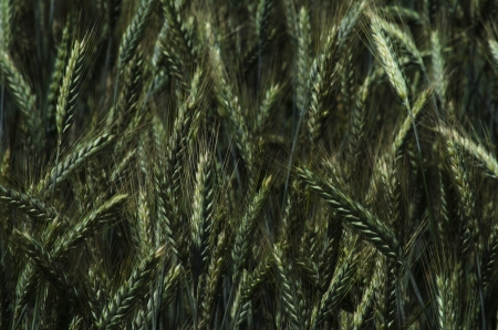 Blurred detail of fresh green rye available for background  Stock Photo
