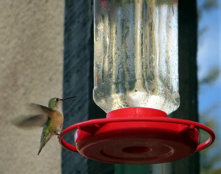 pollinators: Hummingbird in the Rocky Mountains