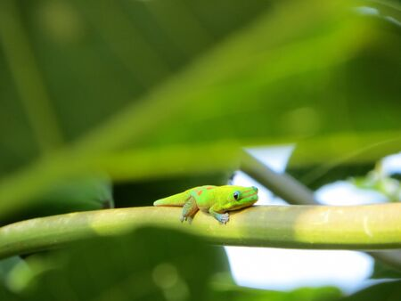 reptilia: Cute gecko resting on a branch of a large green tree in a garden in Hawaii Stock Photo