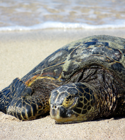 green sea: Lonely green sea turtle sunbathing under the hot sun of an Hawaiian sand beach Stock Photo