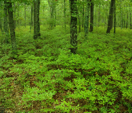 undergrowth: Peaceful and green undergrowth in a forest in North America