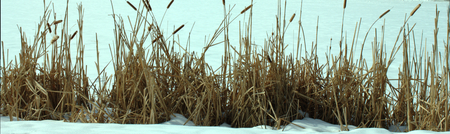 meer: Alignment of reeds on top of the snow by the Harlem Meer in the north of Central park in New York City