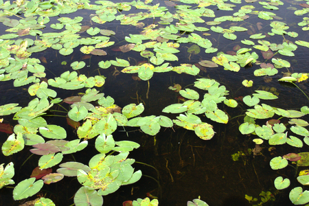 nenuphar: Multiple waterlilies in dark water with no reflection in a swamp Stock Photo