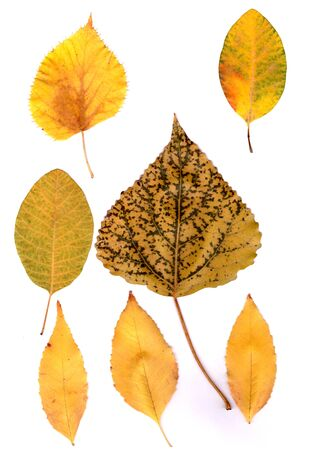 autumn leaves on a white background. Yellow, red, speckled green leaves of maple, poplar, sea buckthorn. Stock Photo