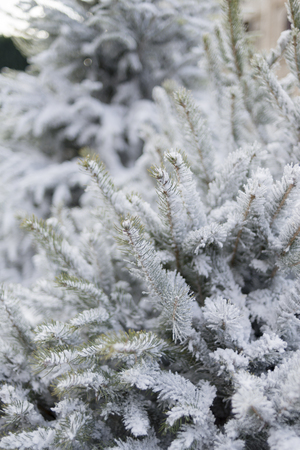Christmas scene of pine branches covered with snow.