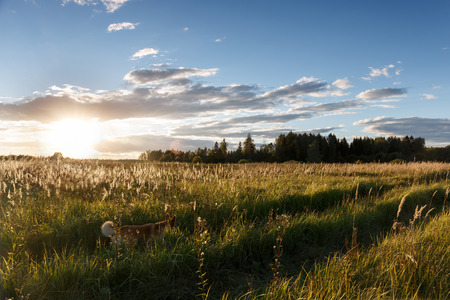 sun track: Red dog runs at the track across the field, lit by the sun. Summer, sunset. Stock Photo