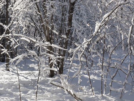 Strongly snow-covered small trees.