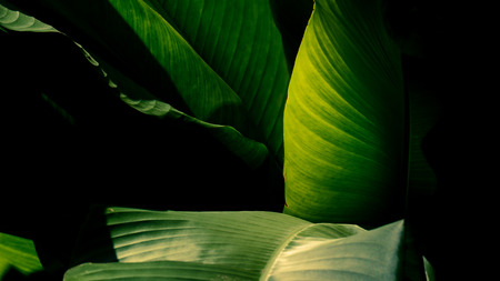 banana leaf in the forest - vintage style Stock fotó
