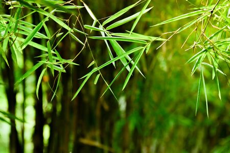 bamboo leaf in the morning - closeup