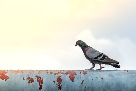 Committed pigeon walk forward on a abandoned steel structure In the morning. Imagens