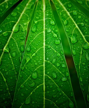 drop water on green cassava leaf wall after raining