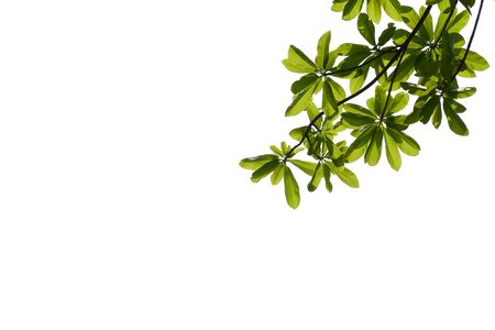 green tree branches isolated on a white background