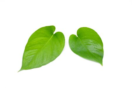 green ivy leaves isolated on white background