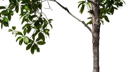 tree branch and leaf isolated on white background