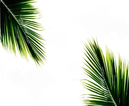 palms leaf on white background
