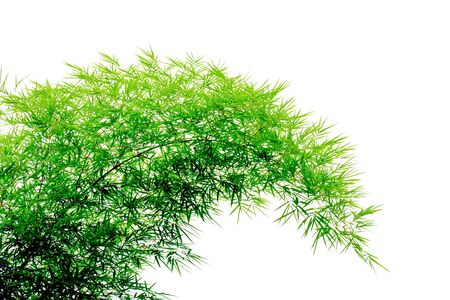 green bamboo leaves isolated on white background. Stock Photo