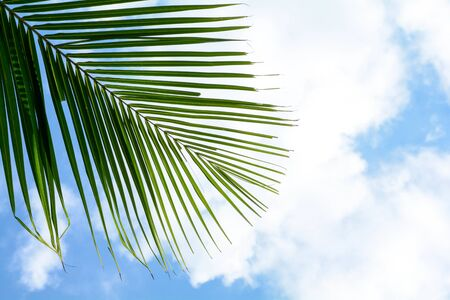 palm coconut leaves on blue sky