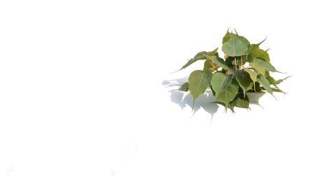 little bodhi tree survival at the wall isolated on white background. 版權商用圖片