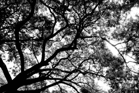 silhouette of tree branches - monochrome 版權商用圖片