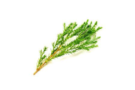 hojas de pino verde y ramita aislado sobre fondo blanco.