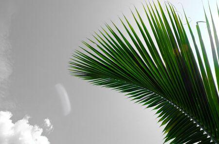 Green palm coconut leaf