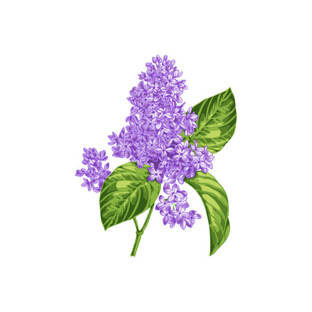 lilac: The branch of blooming lilacs