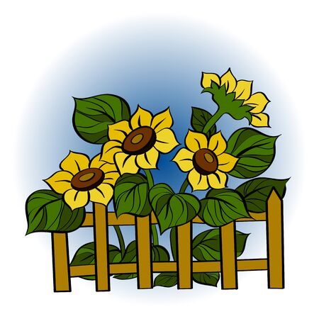 Vector colored illustration. Sunflowers behind a fence. Summer Village.