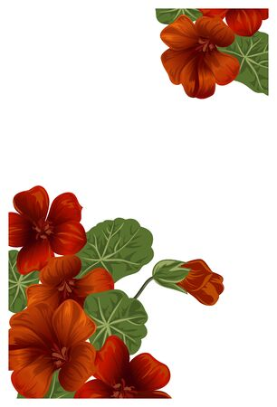 nasturtium: Whaite background with nasturtium for design cards and invitations. Garden orange flower.