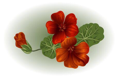 nasturtium: Branch nasturtium. Garden flower. Isolated vector element for design. Illustration