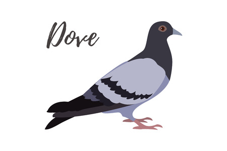 Isolated gray pigeon on a white background, vector illustration Illustration