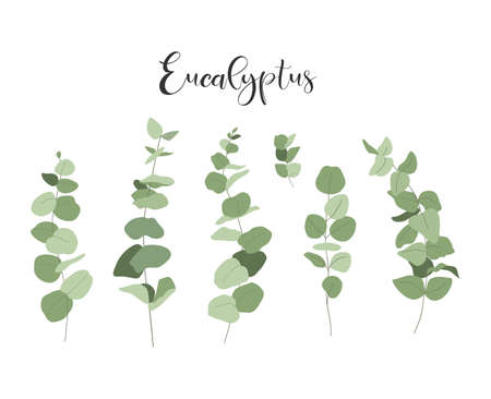 Isolated set of eucalyptus. Branches and leaves.